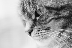 Lily the Tabby (Aperture Monkey) Tags: blackandwhite bw macro cat canon feline lily tabby domestic 70300 500d dioptre 400d