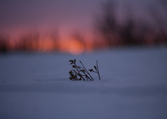 kaamos (futureancient) Tags: snow cold 50mm sweden bokeh rangefinder arctic lapland tundra winterlight wintersunlight canonf095 leicam8 futureancient