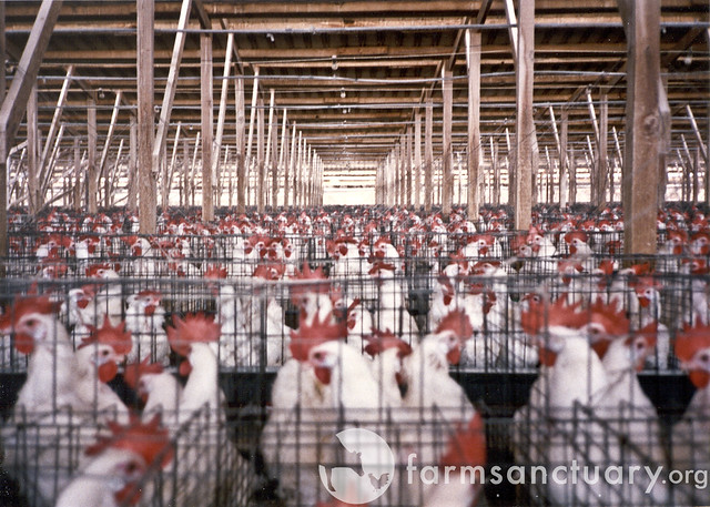 factory farms, chickens, confined animal feeding operations, CAFO, battery caged chickens