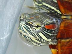 Wha Choo Lookin' At? (Doberdad) Tags: turtle redearedslider waterturtles thenaturegroup photofaceoffwinner naturewatcher pfogold thechallengefactory