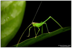Happy Little Cricket (Edgar Thissen) Tags: macro green nature bravo asia nightshot wildlife cricket malaysia borneo kinabatangan nightsafari uncletan edgarthissen flickrsbest 30999 specanimal diamondclassphotographer megashot
