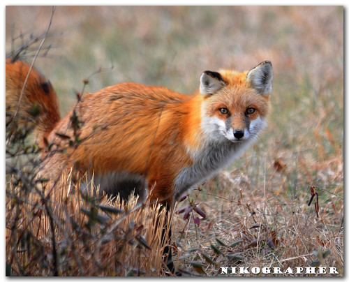Scent Marking - Red Fox at Bombay Hook NWR, DE (3 of 9)