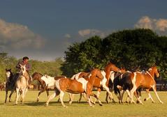 Los tobianos (Eduardo Amorim) Tags: horses horse southamerica argentina criollo caballo cheval caballos cavalos pferde herd cavalli cavallo cavalo gauchos pferd pampa hest hevonen chevaux gaucho  amricadosul hst gacho  campero amriquedusud provinciadeb