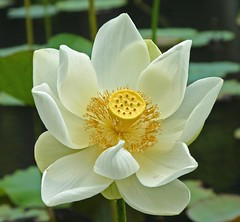white lotus flower in mauritius