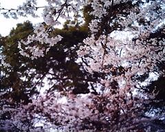 玉前神社の桜