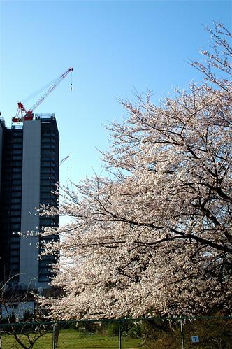 建設中のビルと桜