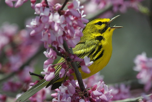Prairie Warbler   By Mark Trabue
