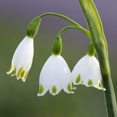 SweeT (sterestherster) Tags: flowers friends light sun white holiday nature spring esther delicate fragile keukenhof lisse bloemencorso canonef100mmf28macrousm tbgc57