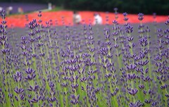 Summer Lavender, I LOVE U (Hokkaido) (unlimited inspirations) Tags: travel summer plants baby macro art texture love nature floral japan garden painting landscape fun design petals spring artwork asia soft flickr colours dof purple blossom bokeh models violet lavender angles landmark romance best   colourful pollen  visitors furano attractions      hbw  unlimitedinspirations
