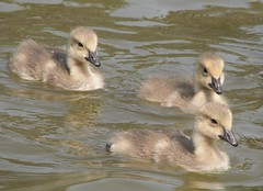 Golden goslings (wolfpix) Tags: bird birds birding pssaro aves goose uccelli canadiangeese pajaro flickrcentral vgel alameda  birdwatching oiseau canadagoose brantacanadensis vogel oiseaux uccello  ganso oie gansos animalphotography naturesfinest thenatureconservancy  gansa  americaamerica imagequality  canonpowershots3is mywinners diamondheart alamedacalifornia avianexcellence flickrchallengegroup excellenceinavianphotography birdsphotos excellentphotographerawards  crabcovemarinereserve