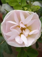 Stanwell Perpetual (Britta's photo world) Tags: plant flower rose blush britta naturesfinest 60mmf28dmicro blueribbonwinner niermeyer abigfave stanwellperpetual ultimateshot theunforgettablepictures auniverseofflowers