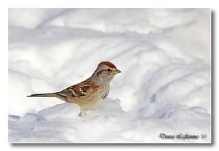 103A3989-DL   Bruant Hudsonien / American Tree Sparrow.
