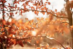 L1038053 christophecarlierm (christophe carlier) Tags: winter light sun leica leicam m8 m82 canon50mmf12ltm bokeh forest leaf red