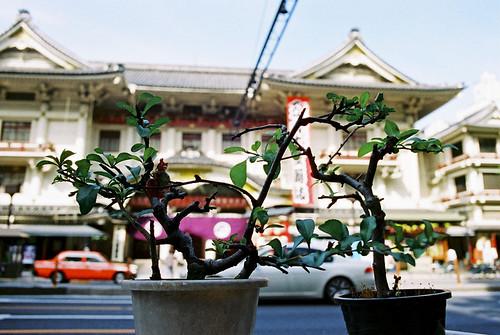 kabukiza*bonsai