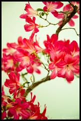 Azalea Flowering Bonsai III (Andrionni Ribo) Tags: california tree bonsai bloom flowering sacramento azalea asuka satsukiaikokai