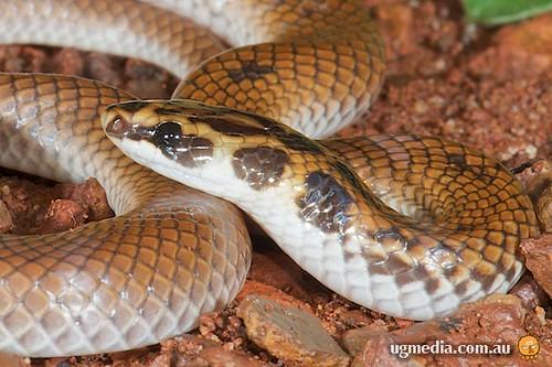 Little spotted snake (Suta punctata)