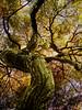 surrounded by Japanese Maple (bdaryle) Tags: tree nature sony redlaceleafjapanesemaple bdaryle oracope mygearandme mygearandmepremium greaterphotographers