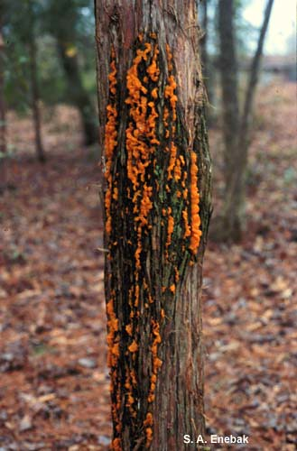 Quince rust cankers are perennial and may produce spores for many years, as seen on this eastern red cedar tree trunk. Photo courtesy of S. A. Enebak, Auburn University.
