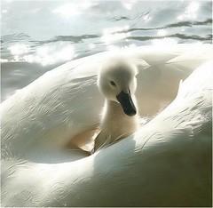 Cisnes 30