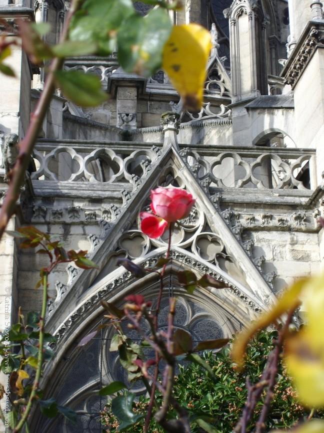 Notre Dame rose
