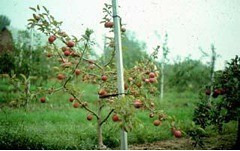 Thin foliage and weak looking apple tree affected by Phytophthora root rot.  Photo courtesy of Wayne F. Wilcox, Cornell University.