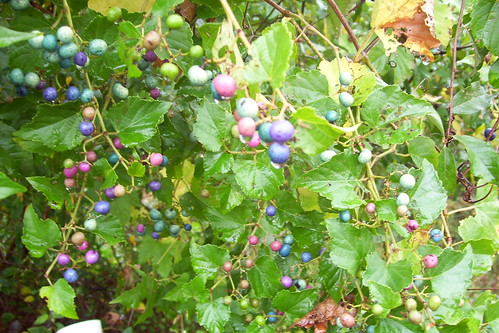 strange berry bush