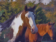 We're Pretty (Misty DawnS) Tags: horses horse fall nature animal animals paint missouri equine equines