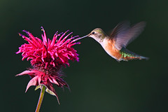 Rufous Hummingbird and Bee Balm (janruss) Tags: slr bird birds canon wow flying hummingbird creative moment beebalm picturesque soe breathtaking birdwatcher peopleschoice themoulinrouge rufoushummingbird selasphorusrufus topshot naturesfinest firstquality 100faves 50faves 35faves goldenmix wingedwonders animalkingdomelite naturesgallery abigfave goldmedalwinner anawesomeshot superaplus aplusphoto flickrplatinum holidaysvacanzeurlaub avianexcellence wowiekazowie megashot empyreananimals naturewatcher colourartaward artlegacy wonderfulworldmix natureoutpost thegardenofzen goldwildlife secretlifeofbirds theroadtoheaven thegoldendreams goldstaraward thebestofgodscreation roseawards world100f digitaleloquence thegreatshooter obq janruss janinerussell