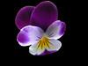 In Evidenza.... (Italian Bongo) Tags: macro montecarlo explore fiore naturalmente elaborazione pisasocialevent