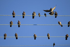 Make Room For A Little one! (peasap) Tags: california ca blue sky birds evening flying wings december sandiego pigeons air elcajon flight feathers aves cables wires electrical westcoast oiseaux électriques columbidae supershot anawesomeshot