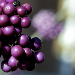If my heart were a ball (Lumase) Tags: nature square lyrics berries dof violet balls explore marillion naturesfinest explored lumase superbmasterpiece luigimasella diamondclassphotographer thegoldenmermaid oneyearoldimage