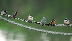 Six On A Chain...In the Rain...Redone (ozoni11) Tags: lake bird nature rain birds animal animals chains nikon bokeh lakes chain d200 swallow swallows noisereduction animaladdiction lakekittamaqundi michaeloberman mywinner anawesomeshot impressedbeauty ozoni11 diamondclassphotographer