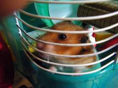 20071220 - 20 (kayako_) Tags: hamster pon