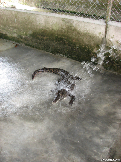 bathing crocodile