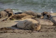 Seal (resting) (Convict J-man) Tags: california beach geotagged nikon nef diego seal d200 hdr jolla jeremyfarr