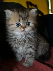 (catherine.caf) Tags: cat persian kitten chat chaton persan blueribbonwinner kissablekat platinumphoto impressedbeauty excapture theperfectphotographer