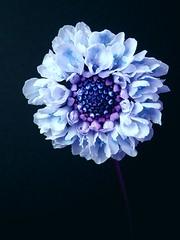 Scabiosa (blue) (tanakawho) Tags: blue plant flower color macro cool purple scabiosa onblack tanakawho