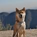 柴犬:posing