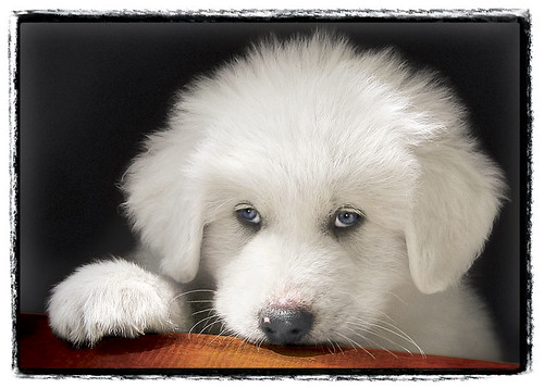 "Great Pyrenees Puppy ""Monk"""