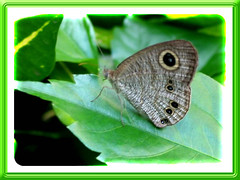Ypthima baldus newboldi (Common 5-ring butterfly) on leaf of Cat's Whiskers