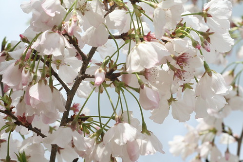 cherry blossom festival 236