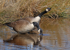 She said yessssssssssssssssss! (Finiky) Tags: bird birds geese flight finiky waterfowl canadageese d3 huntleymeadows afewofmyfavoritethings 300mmf28d