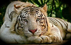 White Tiger (Chi Liu) Tags: nature canon mammal bravo searchthebest wildlife tiger whitetiger naturesfinest blueribbonwinner chiliu specanimal animalkingdomelite anawesomeshot vosplusbellesphotos