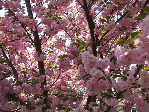 Profusion of Cherry Blossoms