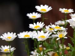 Olympus E-420 + Pana-Leica D VARIO-ELMAR 14-150mm f3.5 - 5.6 test (digitalbear) Tags: leica flowers test japan tokyo d olympus panasonic ume 56 f35 varioelmar e420 14150mm