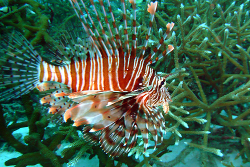 Red Lionfish at Similan Islands