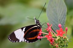 Butterfly (Bri_J) Tags: tropicalbutterflyhouse northanston sheffield southyorkshire uk yorkshire butterflyhouse nikon d7200 butterfly macro