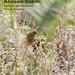 Andean Siskin, Spinus spinescens