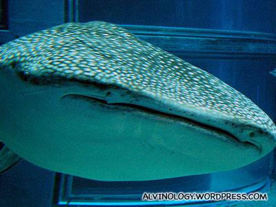 Frontal view of the whale shark