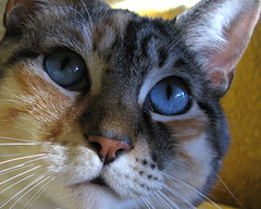 Purrl (Dialed-in!) Tags: portrait cats pets macro cute colors beautiful face closeup cat mixed pattern kitty powershot calico meow striped kittycat blueeyed purrl g9 matchpointwinner dialedin thechallengefactory